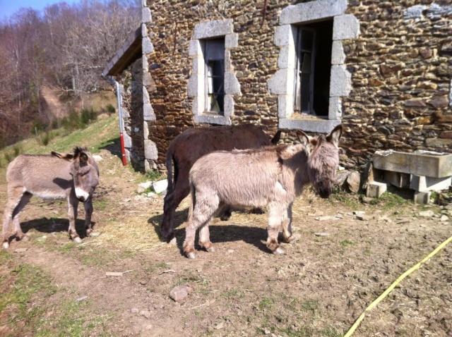 Dpt19 - YOUMIS âne commun adopté par Jean Vincent et sa femme (2013) Youmis10