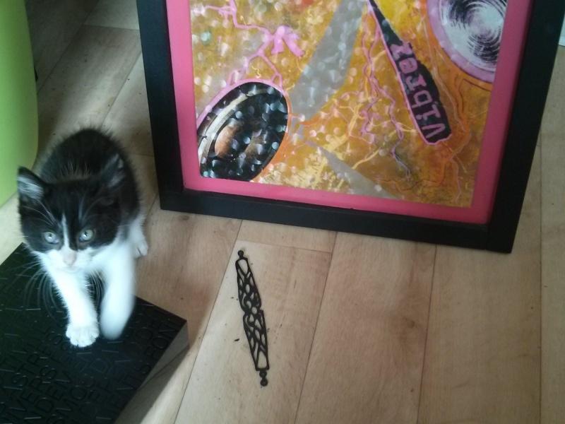 Joël, chaton type européen noir et blanc, né le 25/06/2014  2014-026