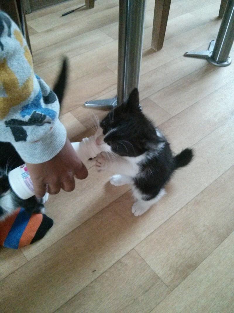Joël, chaton type européen noir et blanc, né le 25/06/2014  2014-032