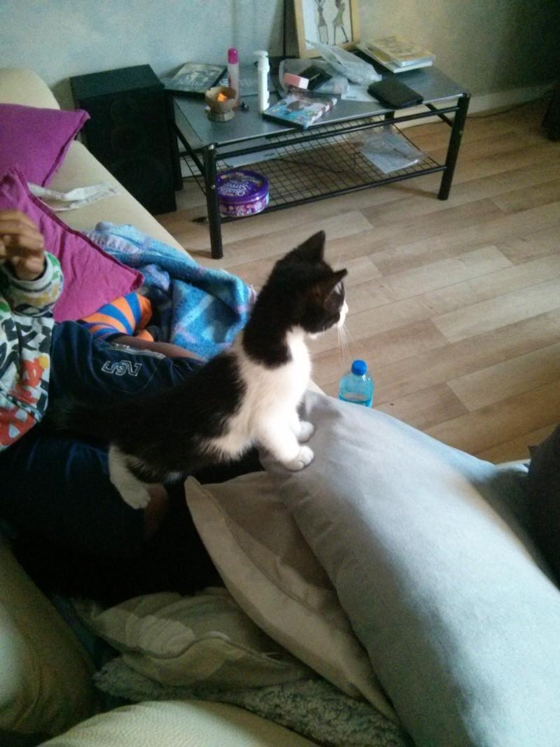 Joël, chaton type européen noir et blanc, né le 25/06/2014  2014-033