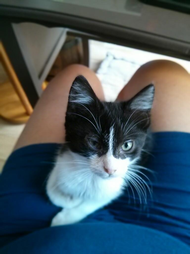 Joël, chaton type européen noir et blanc, né le 25/06/2014  2014-035