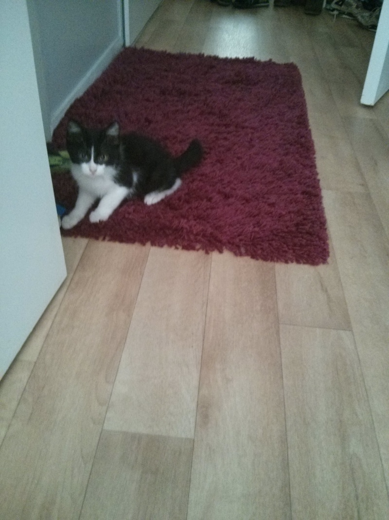 Joël, chaton type européen noir et blanc, né le 25/06/2014  2014-037
