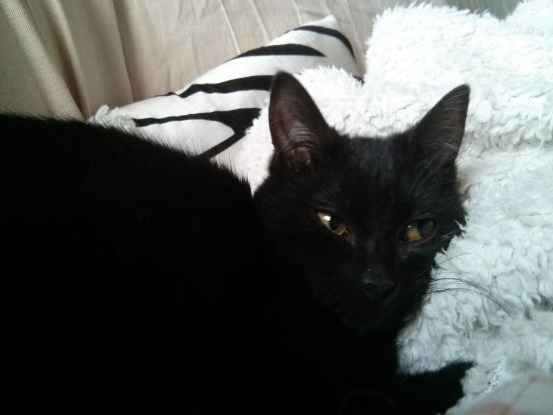 jasper - Jasper, chaton de type européen noir, né le 06/09/2014 en sauvetage! Img_2014