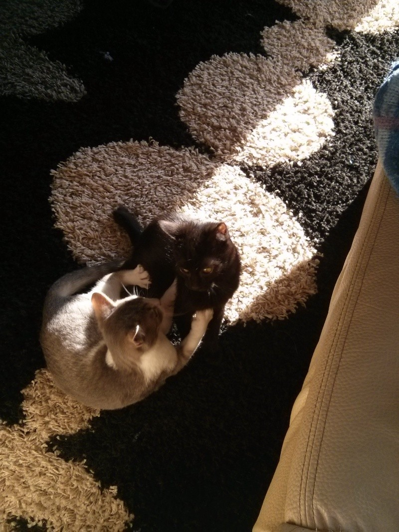 jasper - Jasper, chaton de type européen noir, né le 06/09/2014 en sauvetage! Img_2015
