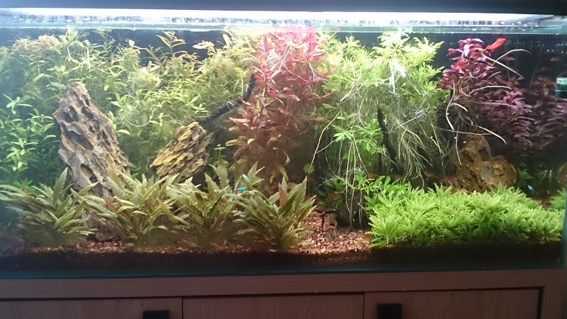 240 litres très planté  (j 'ai des algues) - Page 7 Dsc_0010