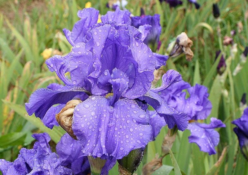 Iris a eperons  Specia10