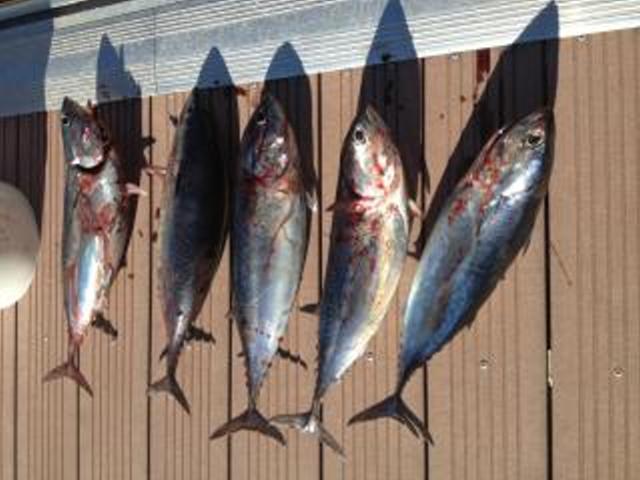 Pêche à la traine côtière Photo10