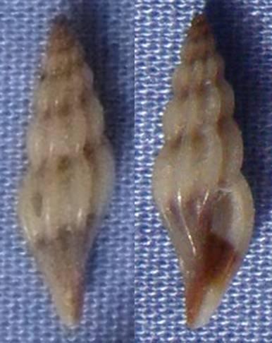 Coquille de Majorque à identifier (2) 11_5mm10
