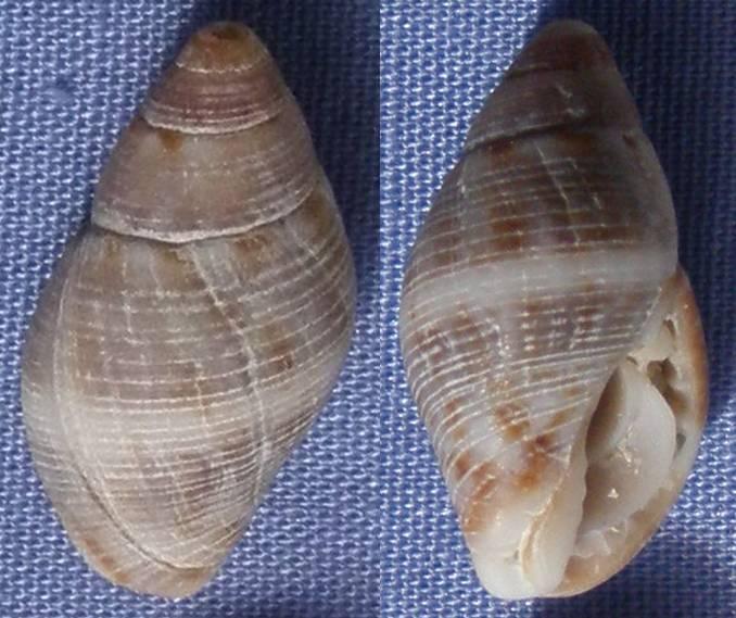 Coquille de Majorque à identifier (1) 17mm_m10