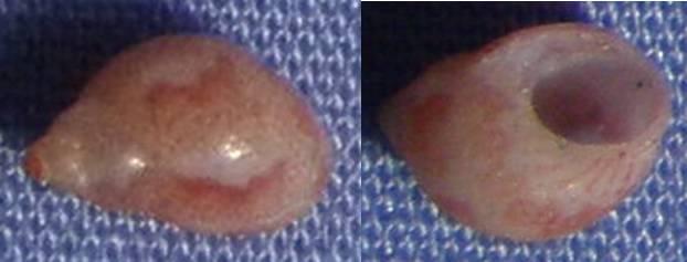 Petite coquille de Majorque à identifier (2) 6mm_ma10