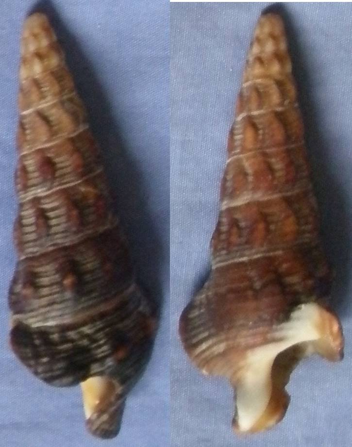 Batillariidae - Pyrazus ebeninus - (Bruguière, 1792) 71mm_m10