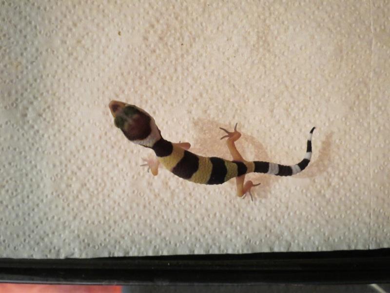 Mon couple de gecko leopard - Page 2 Img_3824