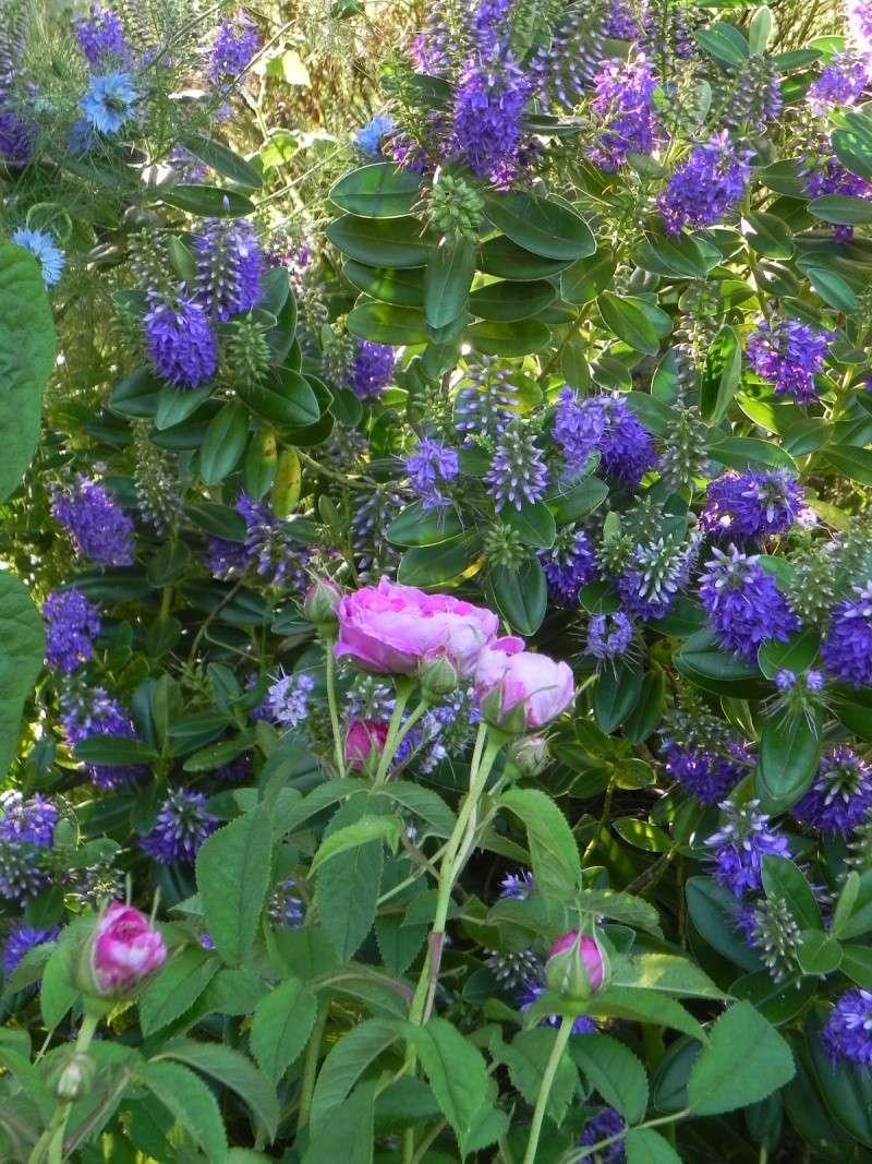 massifs en bleu - fleurs bleues et belles associations Dscn5650