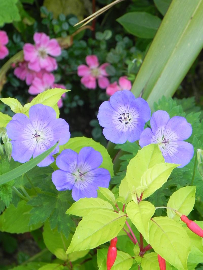 massifs en bleu - fleurs bleues et belles associations Dscn5745