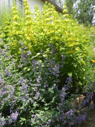 massifs en bleu - fleurs bleues et belles associations Kh8k7a10