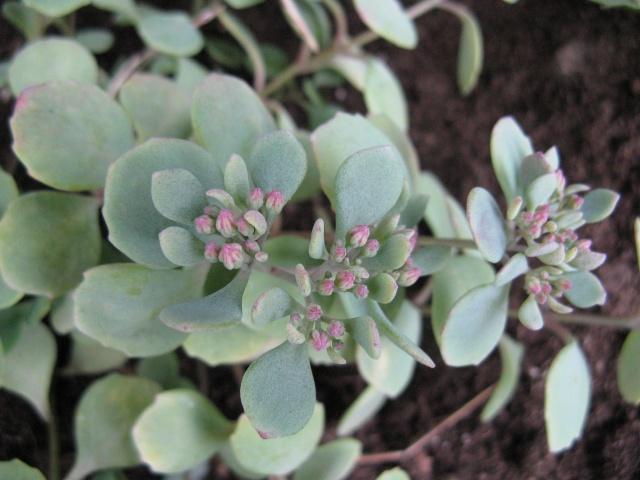 Sedum cauticola Lidakense (petit sedum) Img_8535