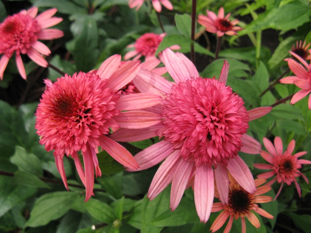 Echinacea a identifier - Trouve: Supreme Elegance Img_8637