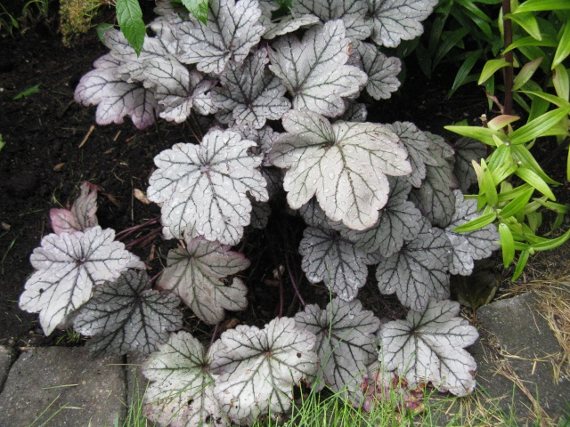 Heuchera Sugar Plum Img_8816