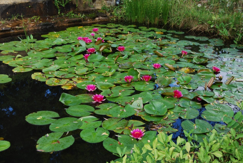 (24) Les Jardins d'Eau - Carsac-Aillac (Sarlat) - Page 2 Dsc_4828