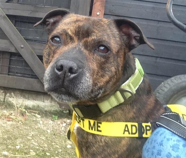 Balloo sbt 10 years Worcester kennels looking for a home Balloo12