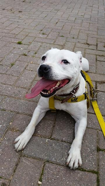 Kane 7yrs sbt looking for a home Worcestershire kennels Kane_211