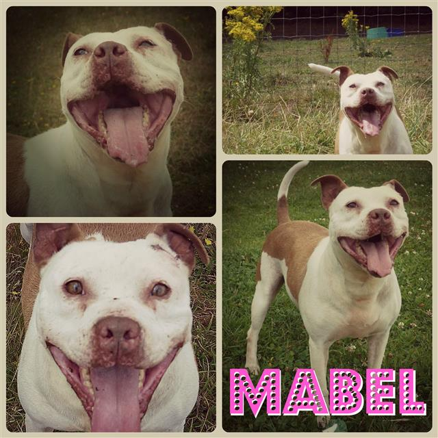 Mabel 8 years sbt needs a home to call her own, Shropshire kennels Mabel_12