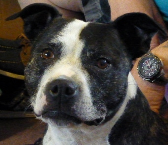 Maisie sbt 6.5 years needs a home in Sussex area Maisie11