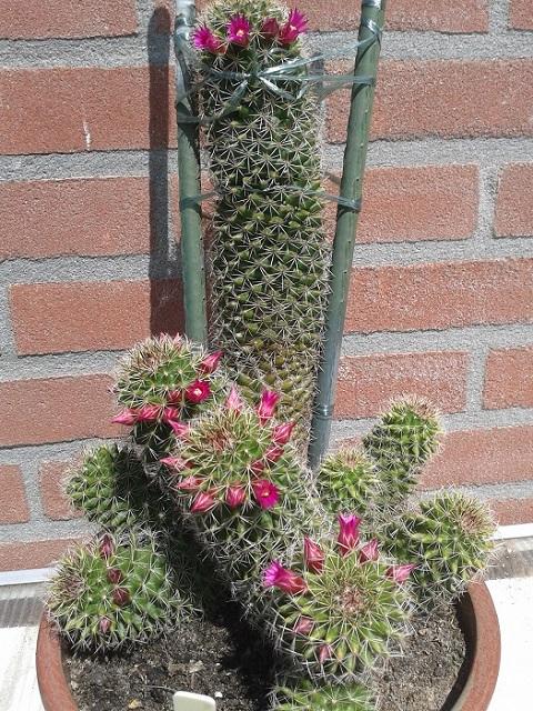 backebergiana ssp ernestii 20140610