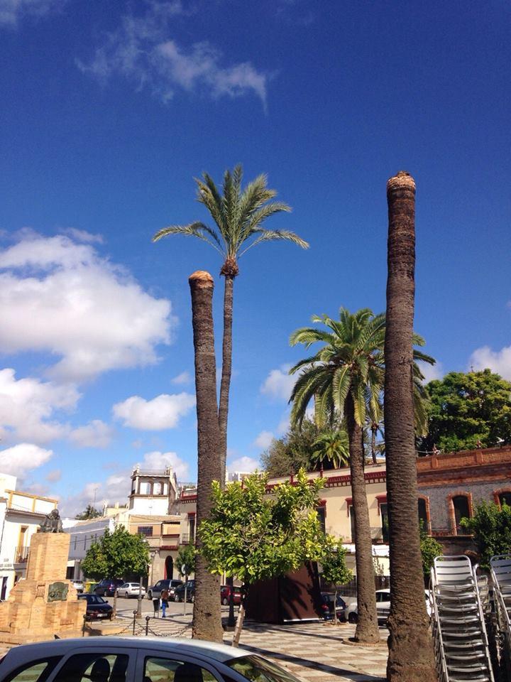 Incidencias en algunas palmeras de la Plaza Alvarado 1palme10