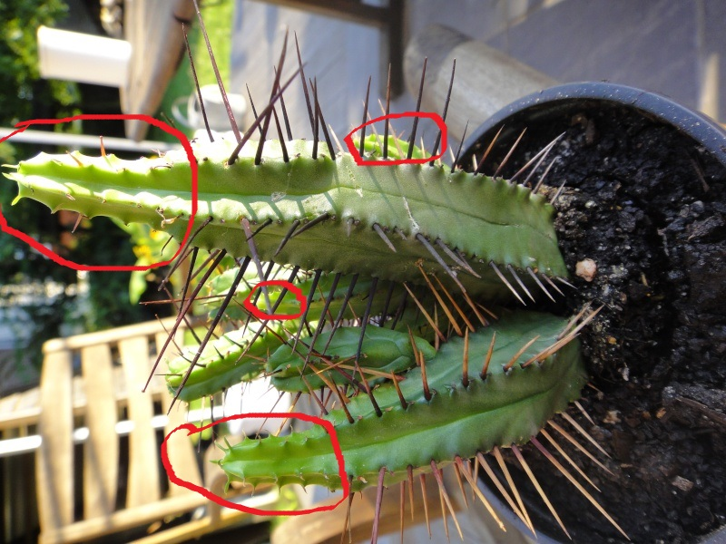 Identufication du cactus. Dsc01510