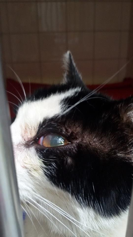 Jeannot, mâle, 15.06.2011, noir et blanc  Chat_a13
