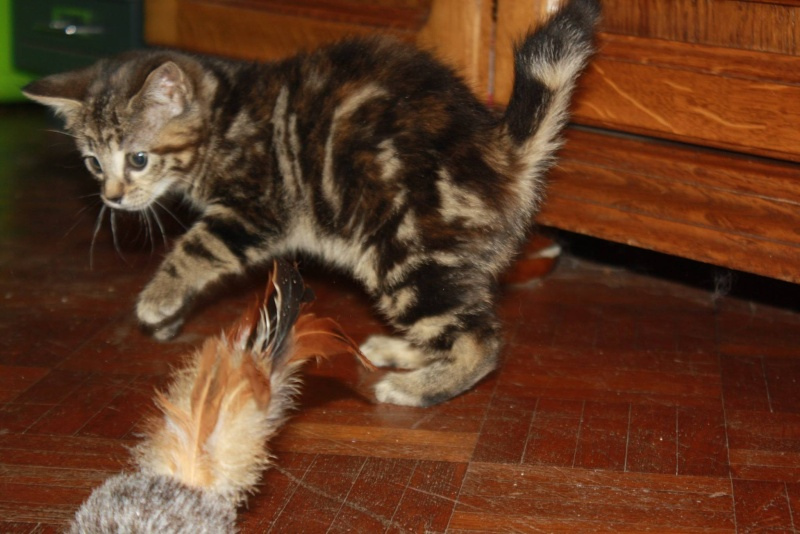 Jody, femelle, 04.2014, tigrée Jody410