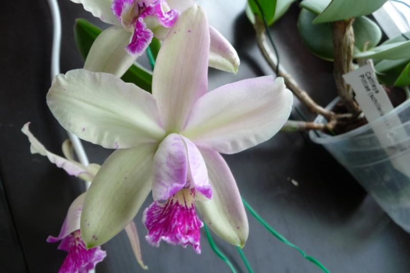 Cattleya pittiae ? P1270610