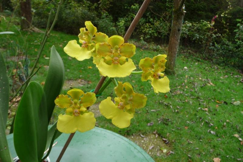 Lophiaris bicallosa, Syn. Oncidium bicallosum P1280910