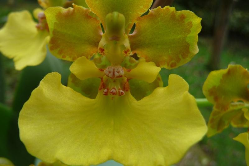 Lophiaris bicallosa, Syn. Oncidium bicallosum P1280911