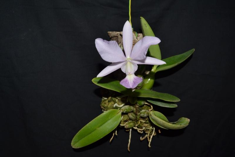 Cattleya walkeriana f. coerulea 'Blue Moon' Dsc_0626