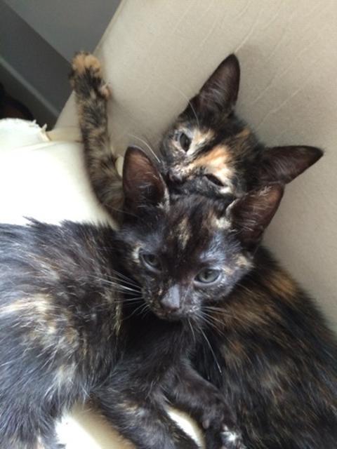 Zoé chaton femelle 6 mois V_4df710