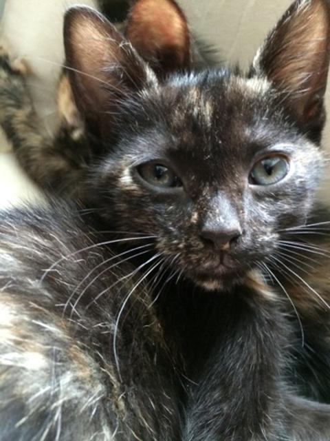 Zoé chaton femelle 6 mois V_d42c10