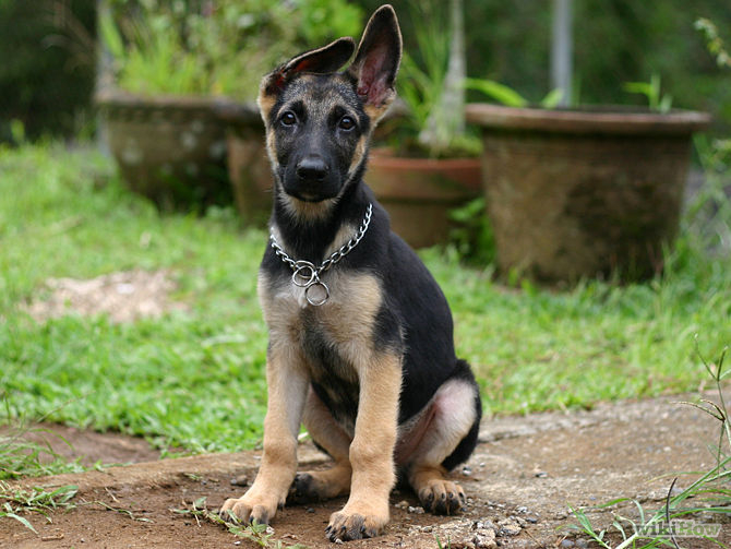 My Huskies ear is weird? 670px-10