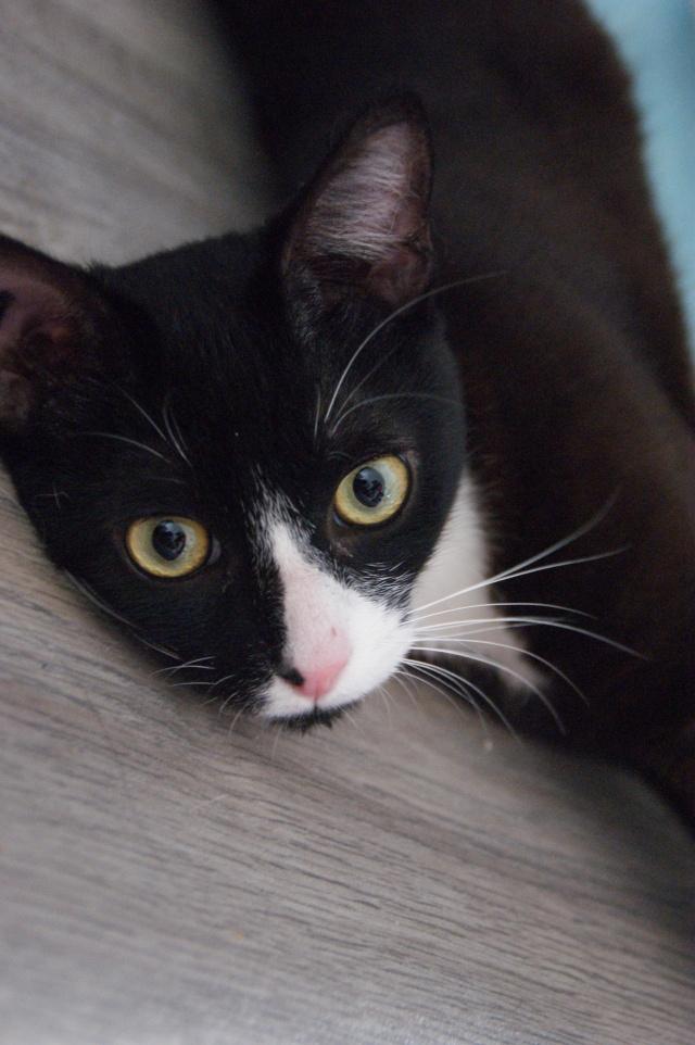 ILARIO, chat européen mâle noir & blanc, né en 2013 Dsc09510