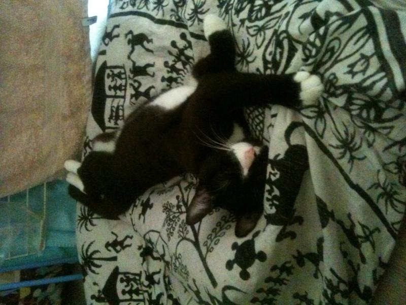 ILARIO, chat européen mâle noir & blanc, né en 2013 Photo10