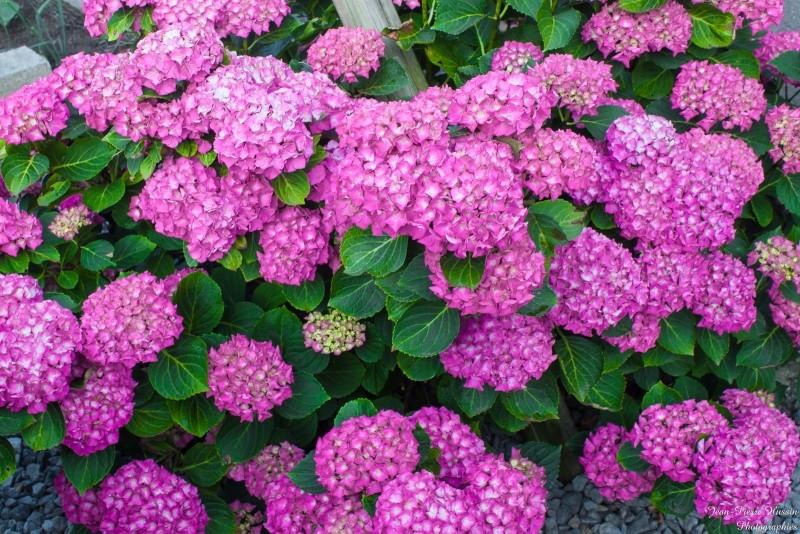 Fleurs ... tout simplement - Page 39 13062011