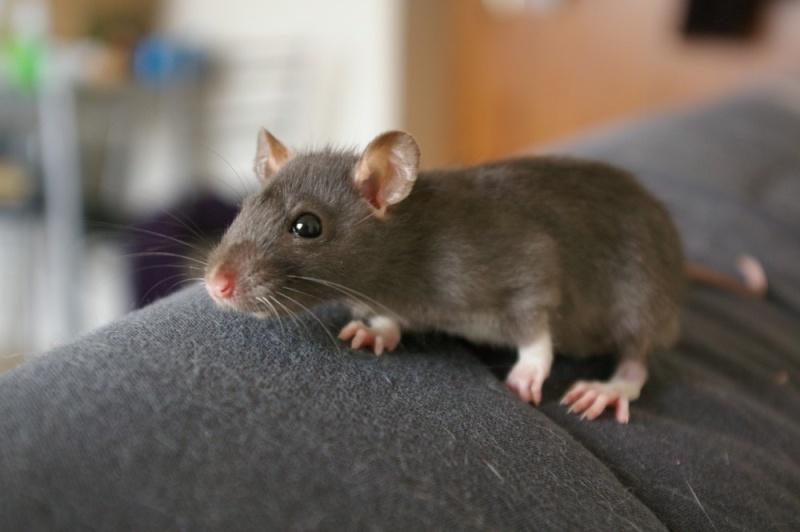 Mon ratou  Imgp6315