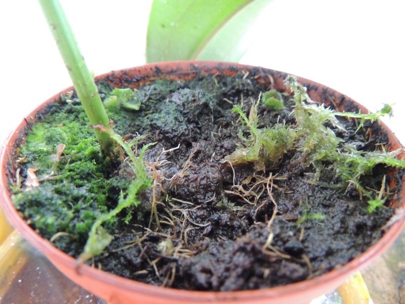 Desmodium gyran squi perd ses feuilles Dscn1216