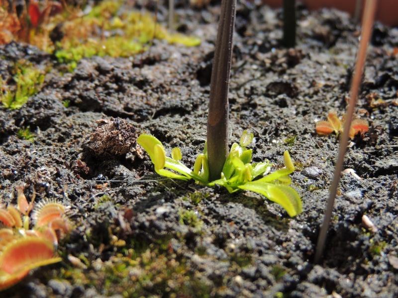 Planter une hampe de dionée - Page 6 Dscn1310