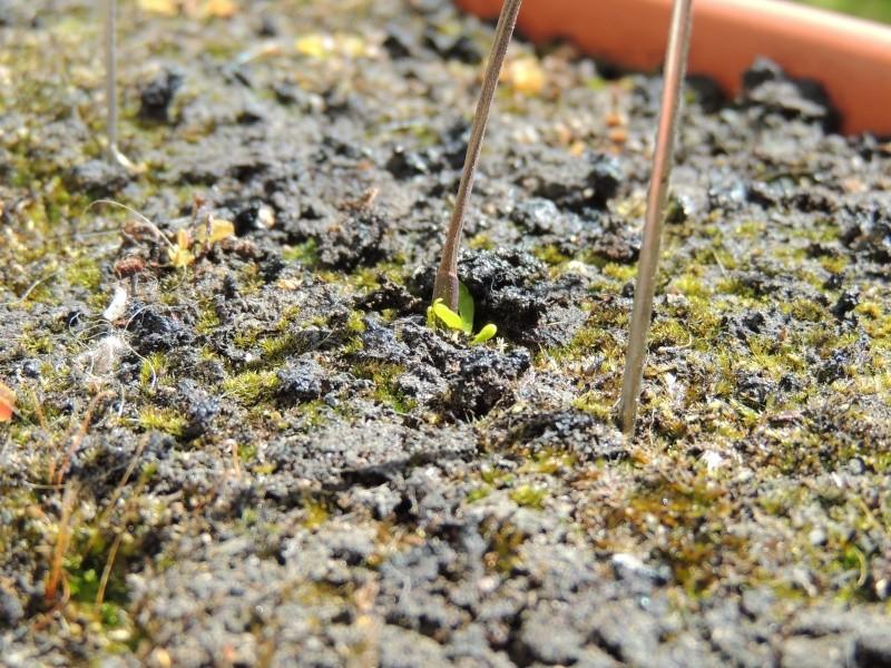 Planter une hampe de dionée - Page 6 Dscn1312
