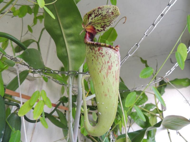 Nepenthes hors terrarium Dscn1338