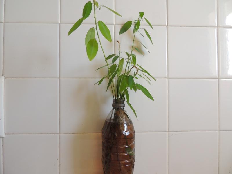 Nepenthes hors terrarium Dscn1518