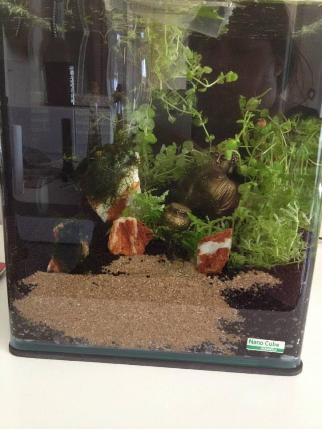 Création aquarium pour un Betta  10610810