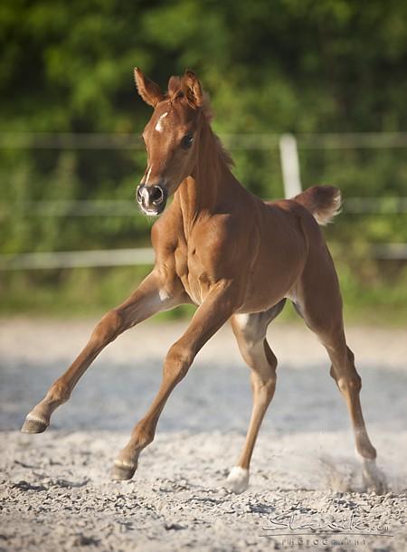 Horses of Athéna Araber10